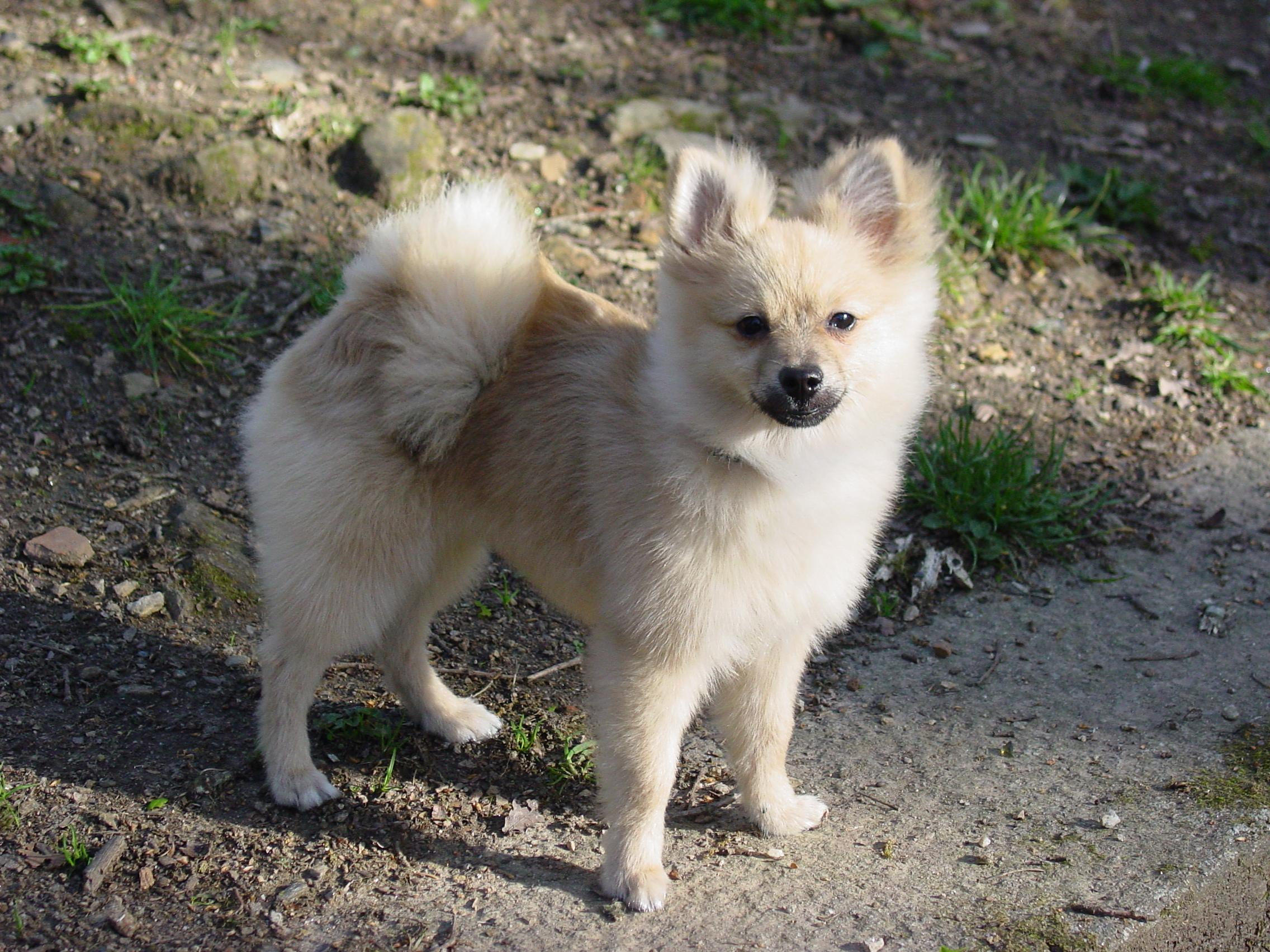... have Pomeranian dogs, you can make use of the following grooming tips